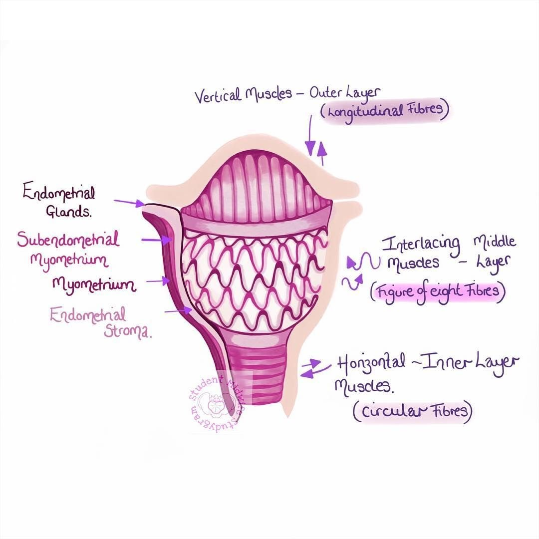 Image of the Uterus with explanatory notes from Student Midwife Studygram